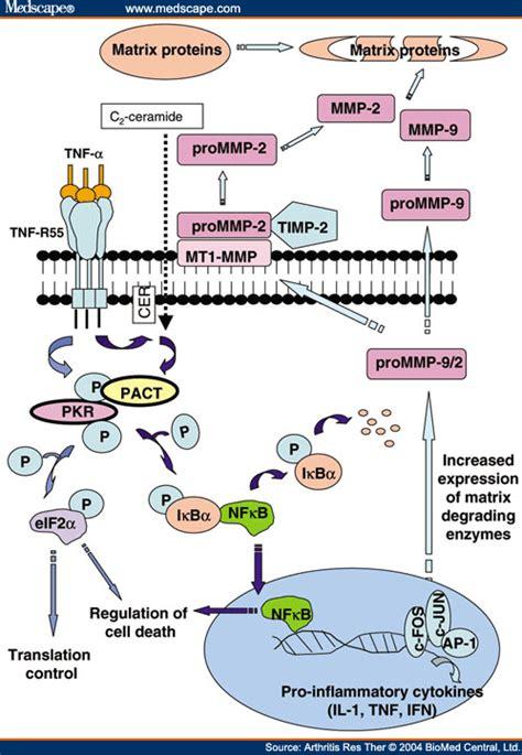 protein kinase r protein kinase r