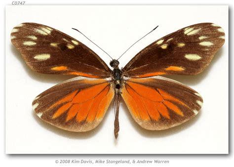dismorphia eunoe desine costa rica puntarenas
