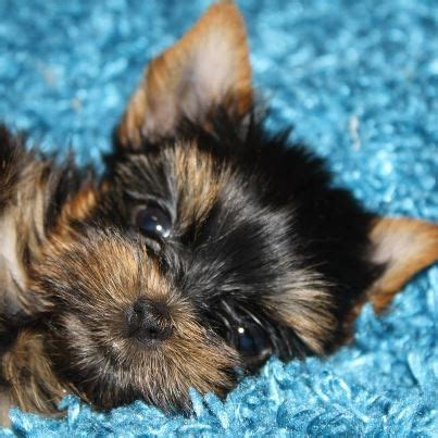 baby yorkie names 17 best images about yorkie puppies on terrier puppies yorkies and yorkie
