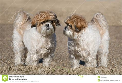 what two dogs make a shih tzu portrait of two dogs breed shih tzu royalty free stock photography cartoondealer