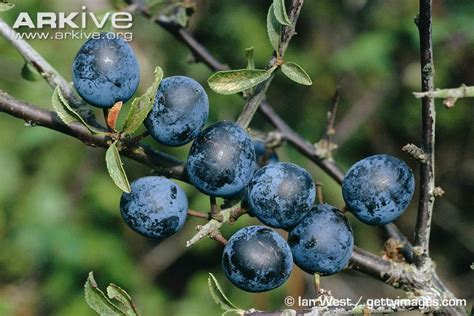 fruit of blackthorn tree blackthorn photo prunus spinosa a12698 arkive
