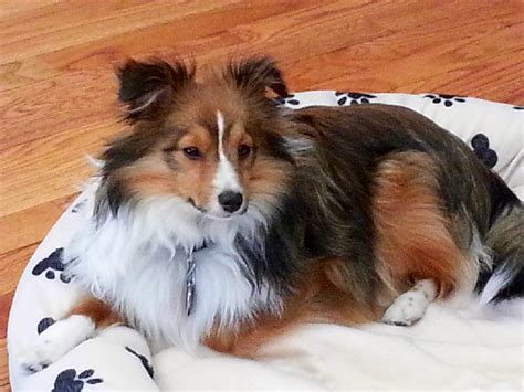 sheltie pomeranian pomeranian sheltie mix the universe of animals