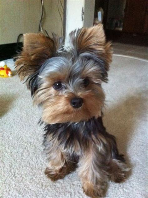 hair cut for tea cup yorkies best 25 yorkie ideas on pinterest yorkshire terrier