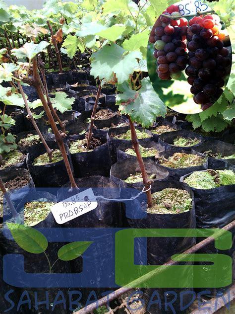 Jual Bibit Anggur Balikpapan jual bibit buah anggur probolinggo cardinal harga