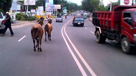 Sho Kuda Di Jogja kuda ngamuk hebat hingga meninggal gara gara klakson