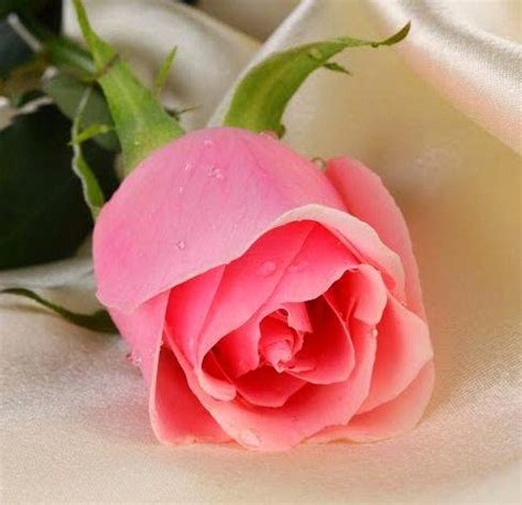 imagenes rosas mas bellas mundo piruja la rosa mas bella del mundo leyenda