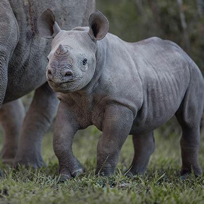 china backtracks  rhino  tiger trade policy