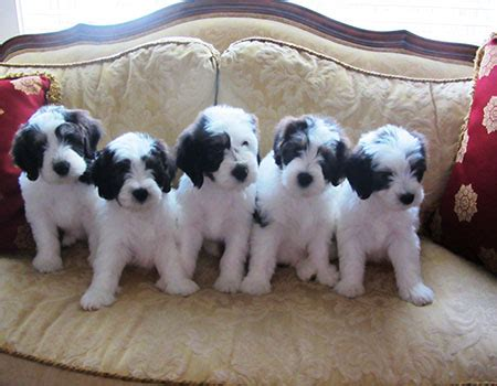 sheepdog puppies ohio lowland sheepdog puppies available by snowhill pons