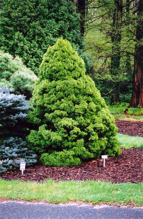 christmas trees glenview il alberta spruce picea glauca conica in wilmette chicago evanston glenview skokie