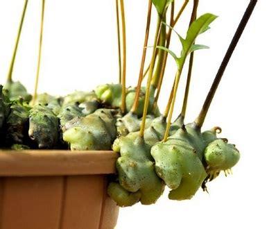 Bibit Benih Radicchio Di Treviso 1 benih lecanopteris pumila ant plant gt 100 biji non