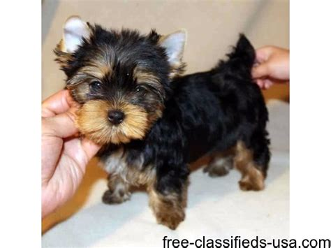 yorkie puppies for sale in bakersfield ca and yorkie puppies animals bakersfield california announcement 54725