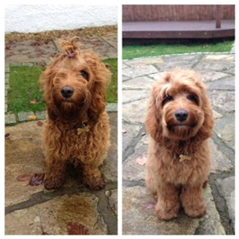 cockapoo haircuts before and after image tinypic free image hosting photo sharing