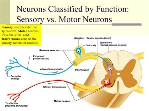 motor and sensory difference between motor neuron and sensory neuron