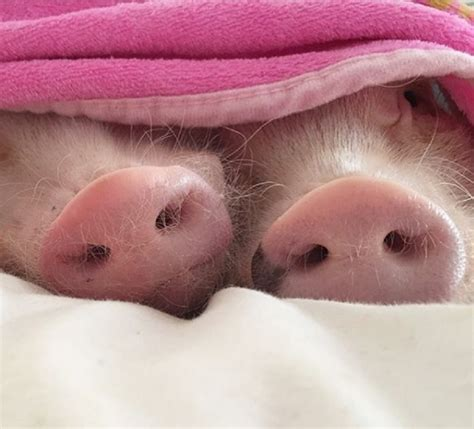 Two Pigs In A Blanket by 11 Lazy Animals Who Understand That Sometimes Doing