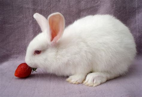 can my eat strawberries can rabbits eat strawberries