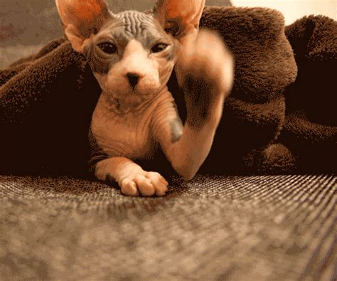 Sphynx Cat GIFs   Find & Share on GIPHY