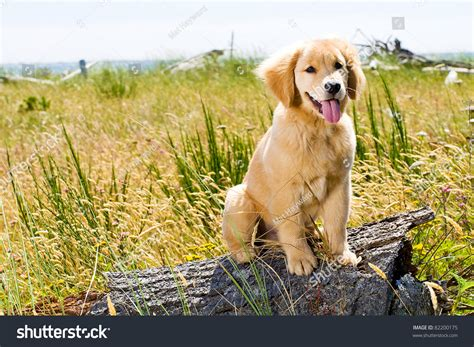 show me pictures of baby golden retrievers golden retriever puppy outside stock photo 82200175