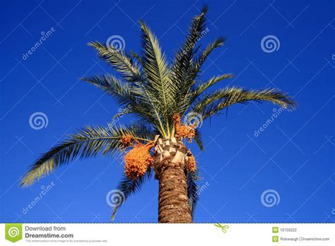 fruit bearing palm trees stunning palm tree with yellow fruit stock photography
