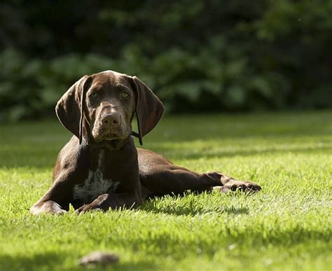 german shorthaired pointer puppies price german shorthaired pointer dogs and puppies breeds journal