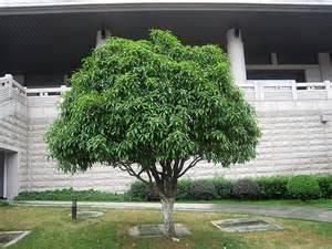 Olive Garden Southern Pines Nc by Fragrant Tea Olive Osmanthus Fragrans Var Thunbergii