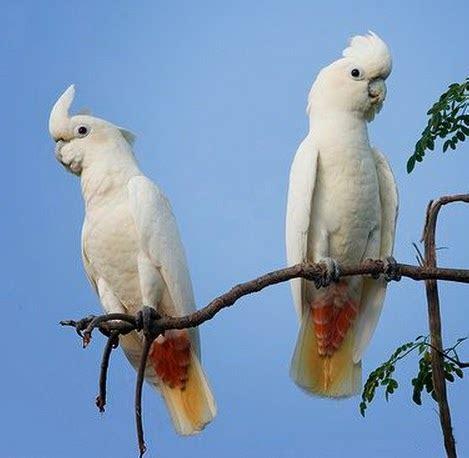 suara orang indonesia di layar lebar bagian 2 habitat dan kebiasaan burung paruh bengkok kakaktua yang