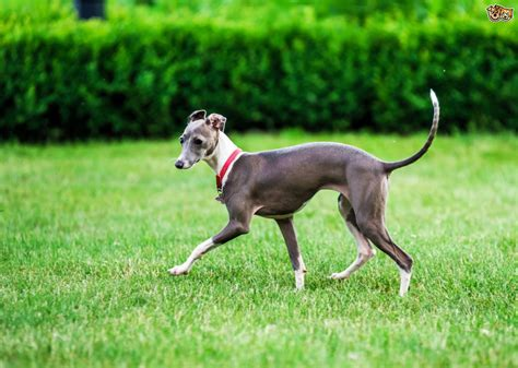 grey hound italian greyhound longevity and hereditary health pets4homes