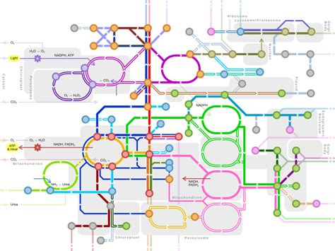 concept review section the nature of light metabolic pathway wikipedia