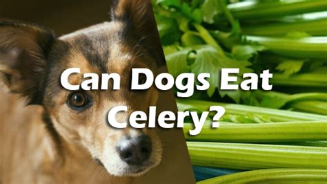 is celery for dogs can dogs celery pet consider