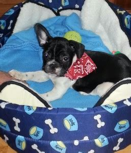 puppies for sale in minot nd dogs dakota free classified ads