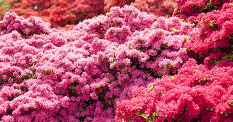 do azaleas bloom all summer ehow uk