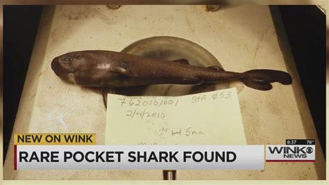 pocket shark pocket shark found in gulf of mexico wink news