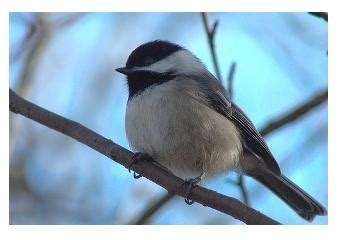 backyard birds ontario the chickadee the acrobat of the bird feeder the
