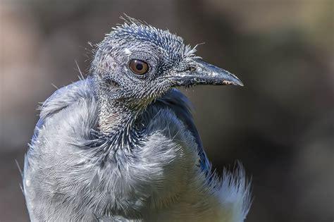 can birds go bald audubon