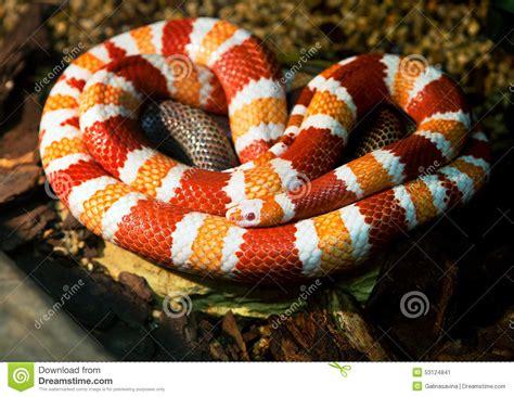 snake pattern red black yellow honduran milk snake stock photo image 53124841
