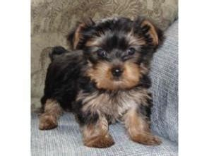 teacup yorkie breeders uk teacup yorkie puppies for adoption pets for sale in the uk