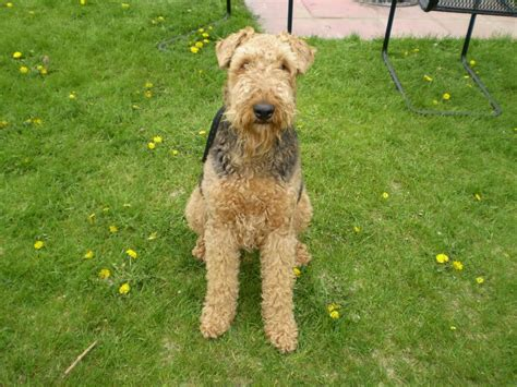 airedale cut new blog pics wallpaper airedale terrier