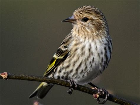 pine siskin identification all about birds cornell lab
