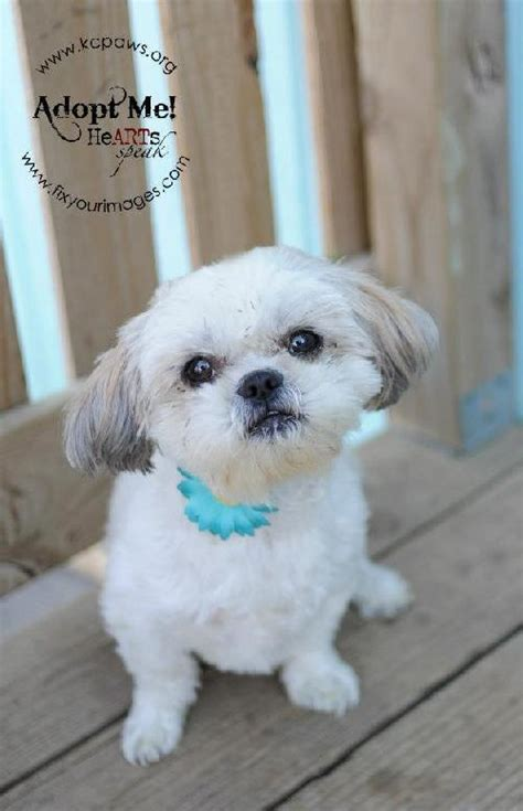 shih tzu rescue kansas city meet a petfinder adoptable shih tzu kansas city mo