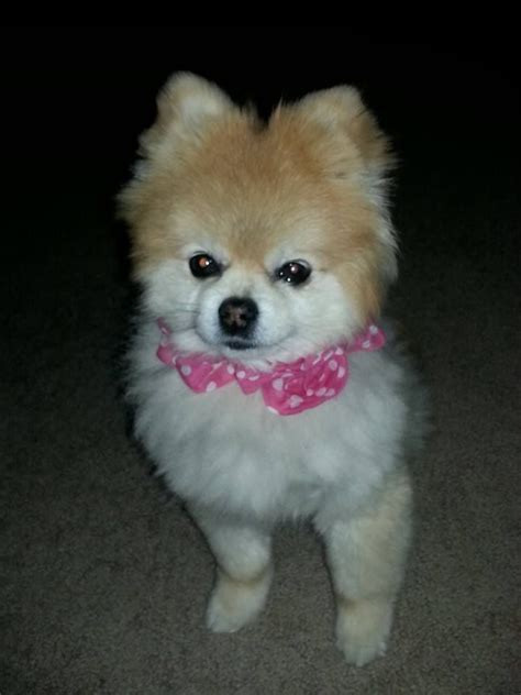 kong the pomeranian 1000 images about pomeranians rust or brown black or white they are all precious in