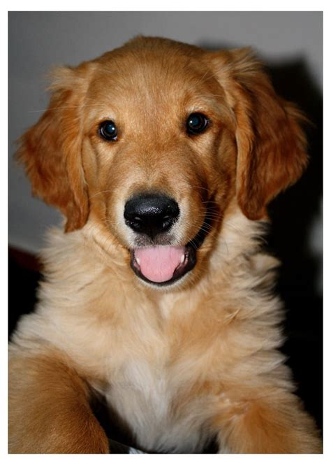 golden retriever smells like fish 7488 best images about i golden retrievers on golden