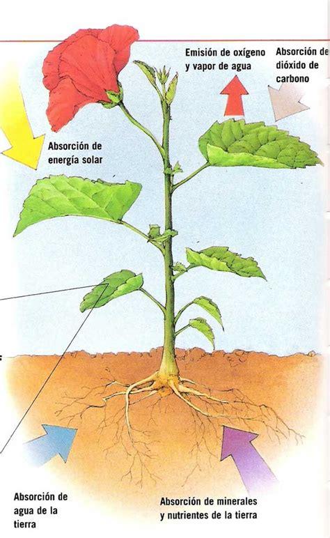 fotosintesis de las plantas fotosintesis y por tanto transformar la savia bruta en