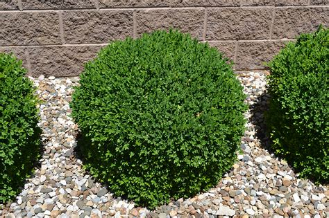 green velvet boxwood is a low maintenance evergreen plant