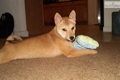 shiba inu puppies florida shiba inu puppy for sale near ta bay area florida 610a28f5 3c51