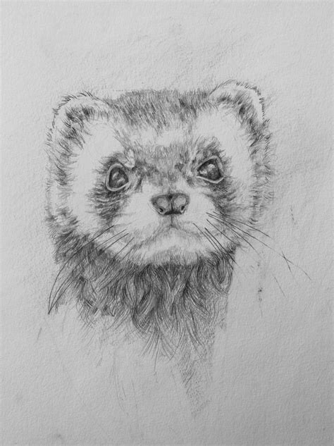 Pencil sketch of a pet ferret - he is very cute! | Animal
