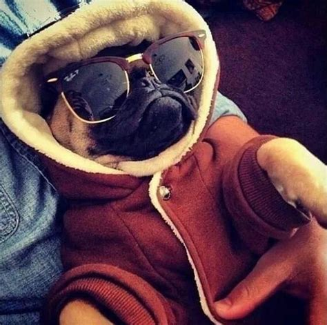 pug with sunglasses best 25 pug ideas on pugs pug puppies and black pug