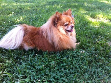 pomeranian losing hair patches purebred pomeranian weight loss dmtoday