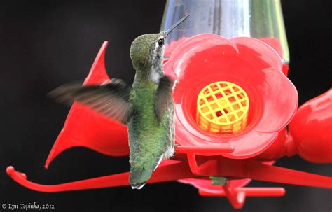 best 28 hummingbird feeder vancouver hummingbird