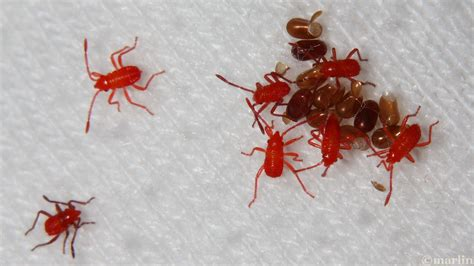 red bed bugs small red bed bugs home design