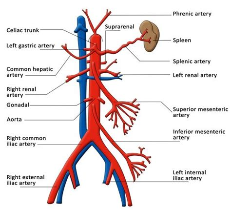 diagram of arteries functions of the celiac artery explained with a labeled