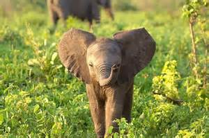 Asian cute baby elephants 33 images osmeb